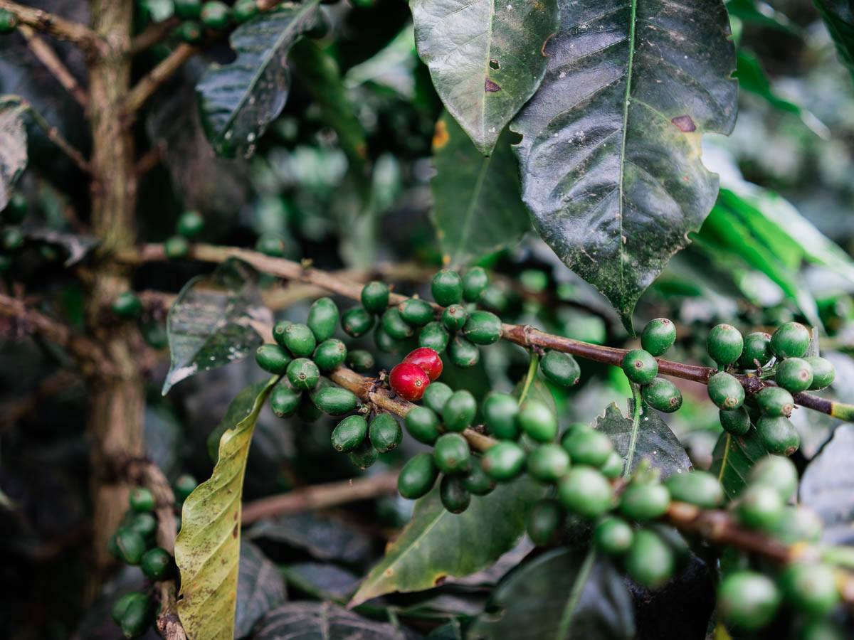 Ripe coffee cherries in Salento, Colombia