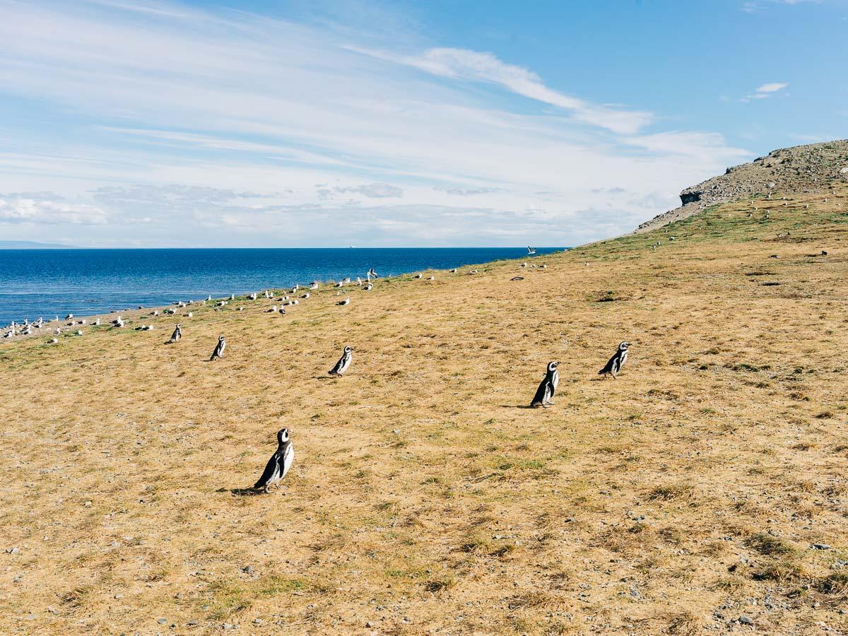 Magdalena Island Penguins-10