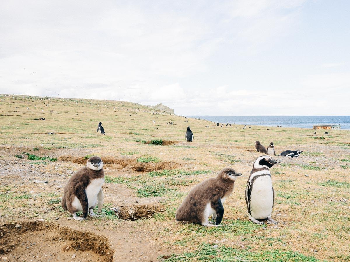 Magdalena Island Penguins-13