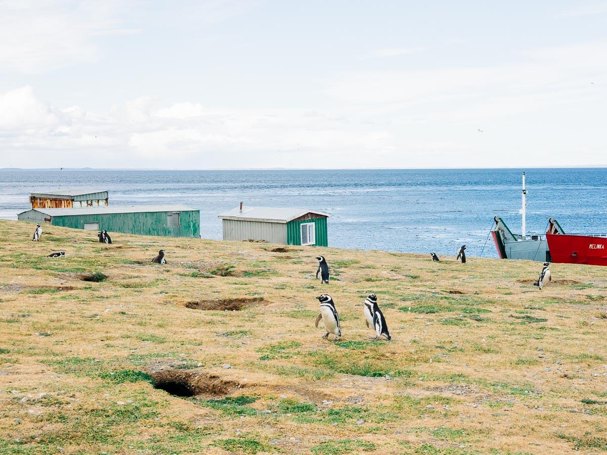 Magdalena Island Penguins-14