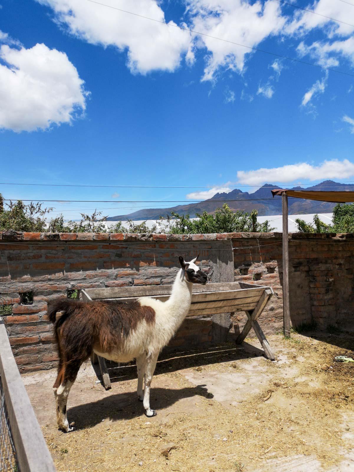 Llama at Hosteria Papagayo